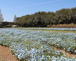 茨城県こもれび森のイバライドでネモフィラが開花