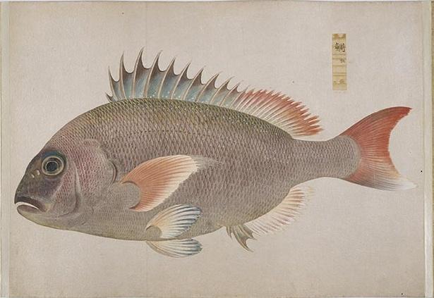 鯛(「衆麟図 第一帖」、高松松平家歴史資料)
