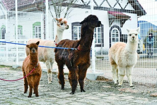【写真を見る】6頭のアルパカに会える/滋賀農業公園ブルーメの丘