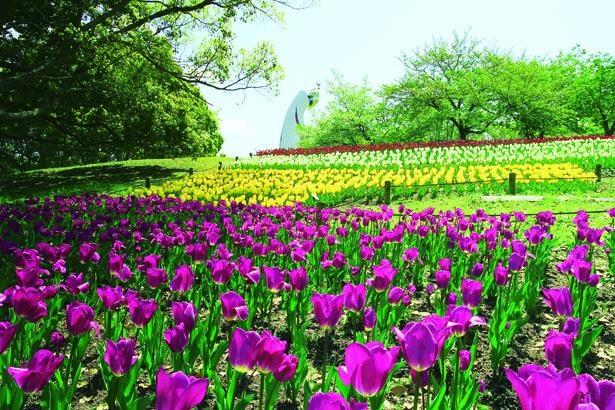 【写真を見る】太陽の塔を背景に咲き誇る約11万球のチューリップ/万博記念公園