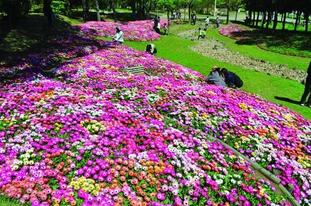 「陽だまりの丘」に咲くリビングストンデージー/淡路島 国営明石海峡公園