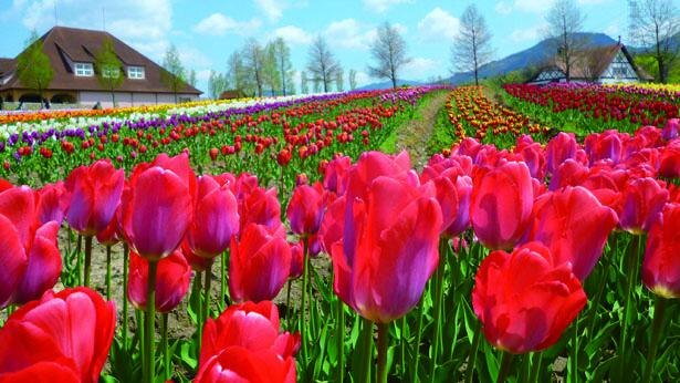 約120種類・13万本の色とりどりのチューリップが花畑に咲き誇り、絵画のような美しさ/滋賀農業公園ブルーメの丘