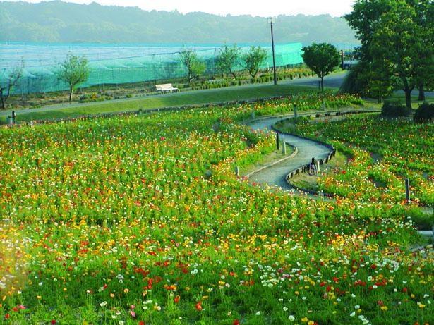 1万平方メートルの花畑に咲き乱れるポピーは圧巻/富田林市農業公園 サバーファーム