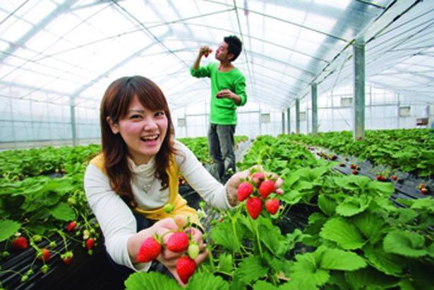 イチゴ狩りは先着順。朝イチで!/富田林市農業公園 サバーファーム