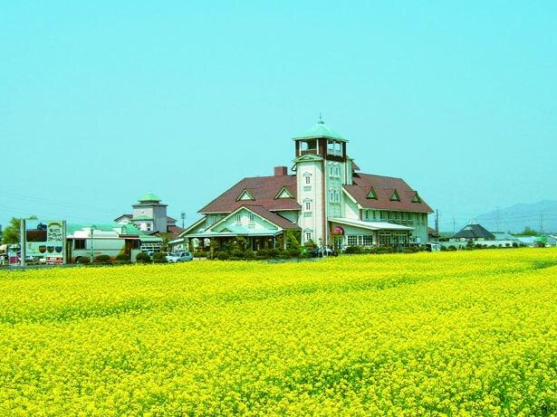 約2000平方メートルに約20万本の菜の花が咲き誇る/R307道の駅 あいとうマーガレットステーション