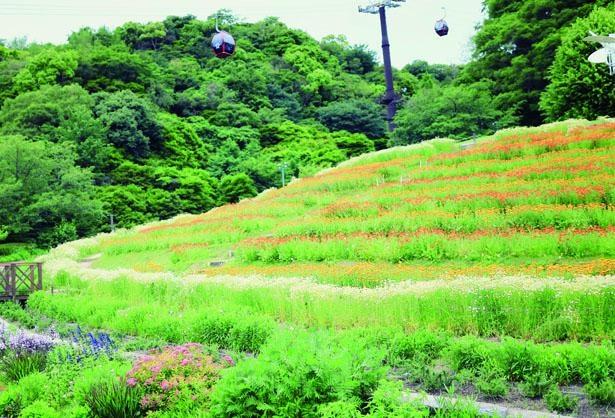 「風の丘フラワー園」のポットマリーゴールド。5月上旬~6月上旬にはカモミールも開花する/神戸布引ハーブ園