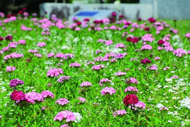 GW前後にはビジョナデシコやデルフィニウムをはじめ、シャーレポピーの花畑も見ごろに/兵庫県立フラワーセンター