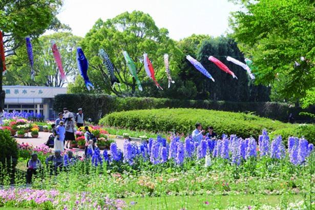 花々の上空を約200匹のこいのぼりが泳ぐ。5月31日(金)まで実施中/兵庫県立フラワーセンター