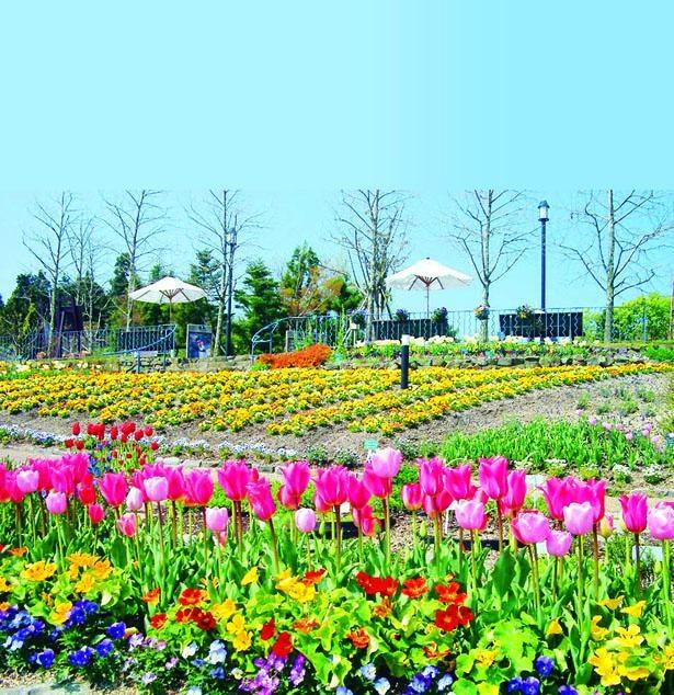 南仏・プロヴァンス地方をイメージした「香りの庭」にチューリップが咲く/ガーデンミュージアム比叡