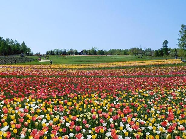 鮮やかなチューリップが彩る「彩の丘」