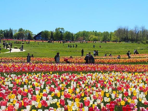 【写真を見る】道央圏最大規模の面積と種類を誇るチューリップ畑