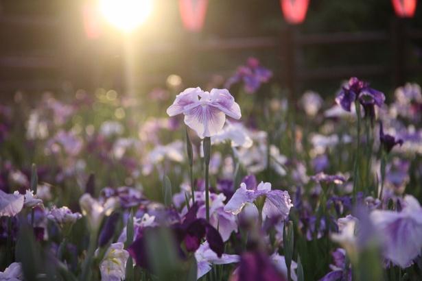 約500種100万株の紫・白・黄色の花菖蒲
