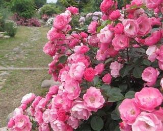 色とりどりの薔薇が咲き誇るローズガーデン