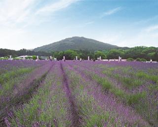日本最大級のラベンダー園。見頃は6月中旬~6月下旬