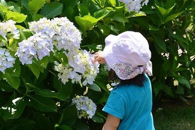 梅雨の季節に美しく咲き誇るあじさい