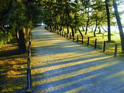 天橋立公園内の約5000本の松並木も散策しよう/天橋立
