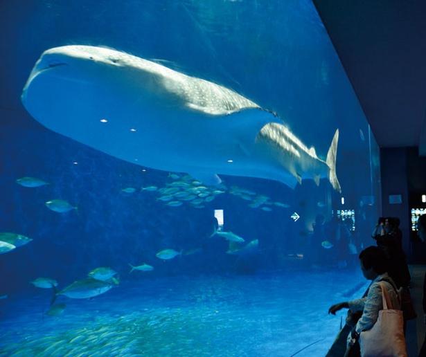 """いおワールド かごしま水族館 / ジンベエザメがゆったり泳ぐ""""黒潮大水槽"""""""