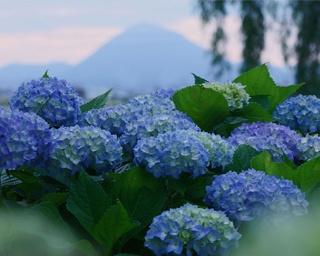 滋賀県のもりやま芦刈園であじさいが見ごろを迎える