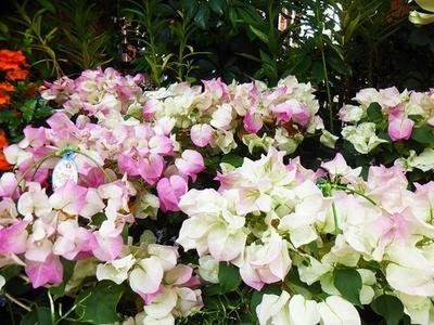 【写真を見る】淡いピンクが特徴の「ブーゲンビレア」も見られる