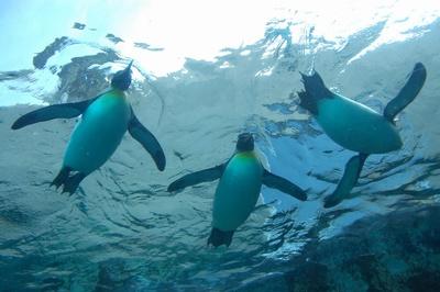 旭川市旭山動物園のペンギン水槽