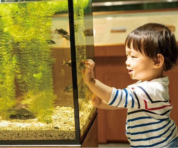 マリンワールド海の中道 / オヤニラミやタカハヤなど、清らかな水で生活する淡水魚を展示する