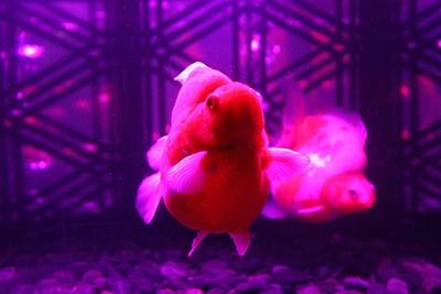 金魚の美しさに焦点を当てた水槽も登場