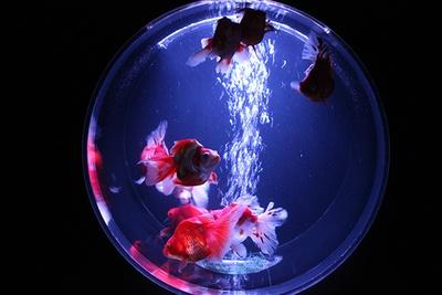 珍しい金魚を中心に展示する「金魚コレクション」