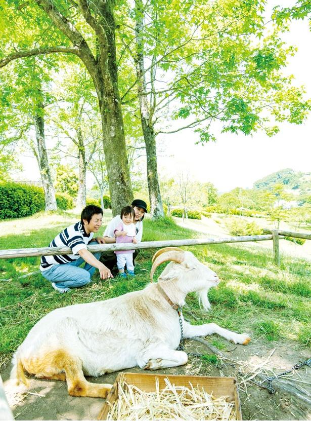 三瀬ルベール牧場 どんぐり村 / 一番大きい看板ヤギの「マツタケ君」