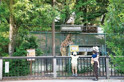 アミメキリンはオスのジュラなど2頭が暮らす。毎日13:00ごろに食事の様子が見られる / 福岡市動物園
