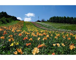 夏の期間はゲレンデに約50種類のユリが咲く