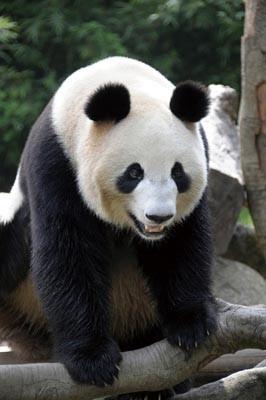 """メスのパンダは、中国お墨付きの""""美女""""だそう"""