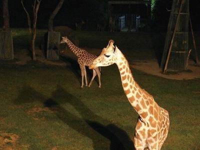 暗くなった園内では、ライトアップを実施。夜の動物たちを観察しよう/ナイトZOO