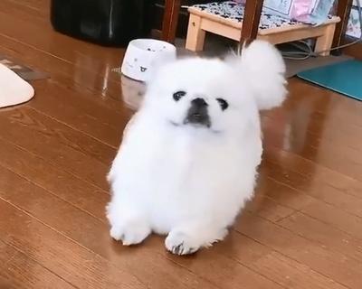話題のトランスフォーマー犬、マロンくん