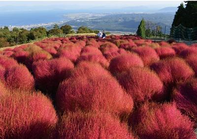 好評の箱館山コキアパークに、ピンクの「桃色吐息」が新登場!標高630mのびわ湖のみえる丘にはプライベートシート(25分につき1000円・要予約)もあり/びわこ箱館山 ゆり園