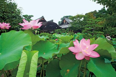 名勝に指定される回遊式庭園には、約1か月かけて90種ものハスが咲く。朝のうちが見ごろ/法金剛院