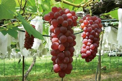 案内所で受付を済ませると、食べごろのブドウ園に案内してくれる ※品種は時期により異なる/青蓮寺湖観光村