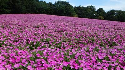 【写真を見る】ピンクが美しいペチュニアがずらり