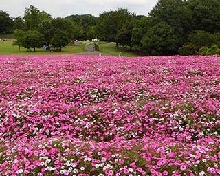 花畑をピンクに染める 国営武蔵丘陵森林公園でペチュニアが見頃