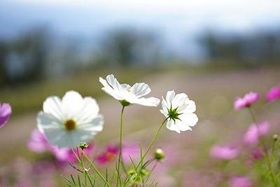 美しいコスモスが一面に咲き誇る