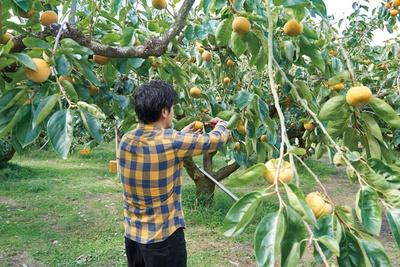 12月上旬まで収穫体験を実施 / 右田果樹園
