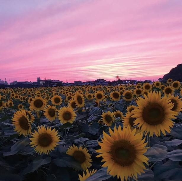 【写真を見る】9月ごろは18:00前に行けば感動的なヒマワリ×夕景が見られる / 道の駅 原鶴 ファームステーション バサロ