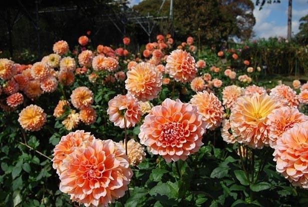 色とりどりのダリアが庭園を彩る