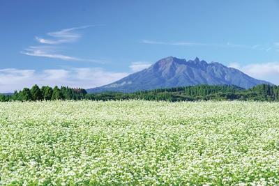晴れた日は青空や深緑の山をバックに、白い花々がより美しく映える / そばの花公園