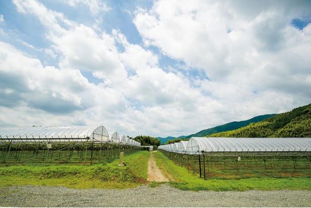 隣接のブドウ畑 / 菊鹿ワイナリー