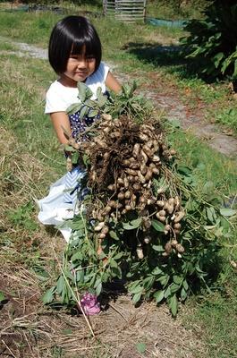 落花生(ピーナッツ)の収穫体験 / 西山田観光農園