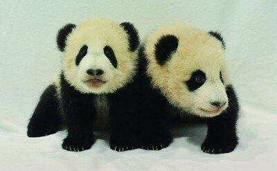 10年8月に誕生した双子のパンダ「海浜(かいひん)」くん(右)と「陽浜(ようひん)」ちゃん(左)