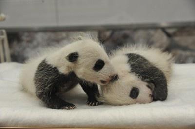 誕生後1か月の2頭。ようやく白黒の毛が生えてパンダらしい見た目に