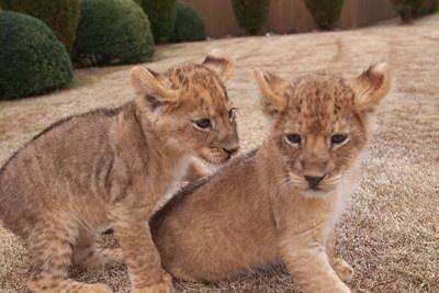 「アドベンチャーワールド」で、10年11月に誕生した、4頭の赤ちゃんライオンも元気に成長中!