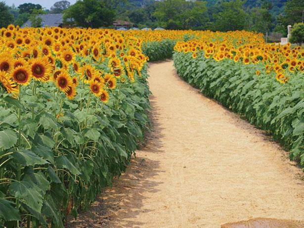 メインのひまわり畑には、約万本が植えられ8月中旬に見ごろを迎える/イングランドの丘