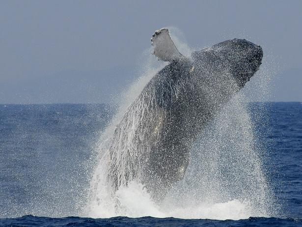 【写真を見る】豪快に水しぶきを上げて飛び上がるクジラ。何度見ても感動させられる迫力のシーンです!